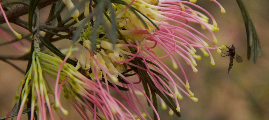 Native bee on pink and yellow grevillea flower